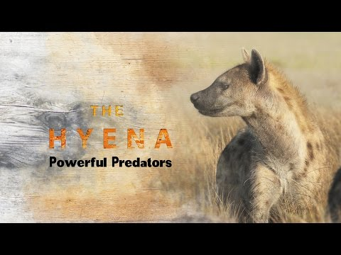 Spotted Hyena : Powerful Predators