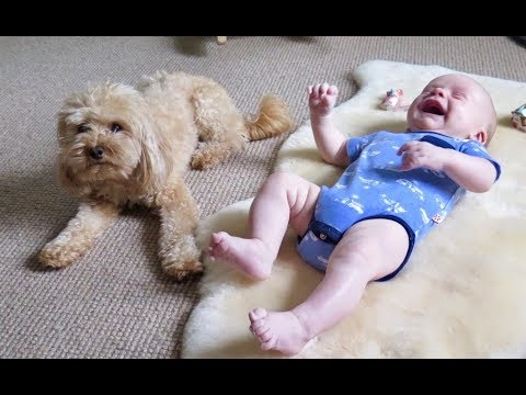 Heroes is not only human - Dogs protect baby, Dog is not only a pet but also a good friend