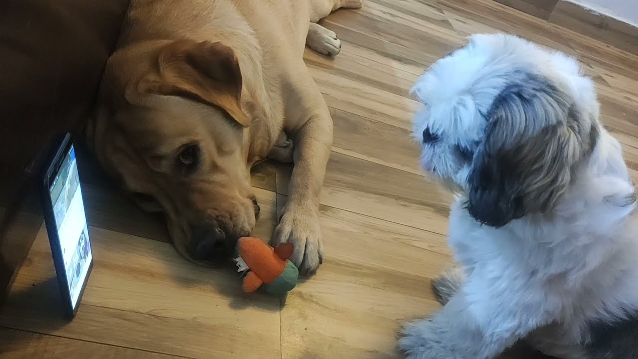 Milo & Shiro reacting to Dog Barking & Crying    Epic Reaction