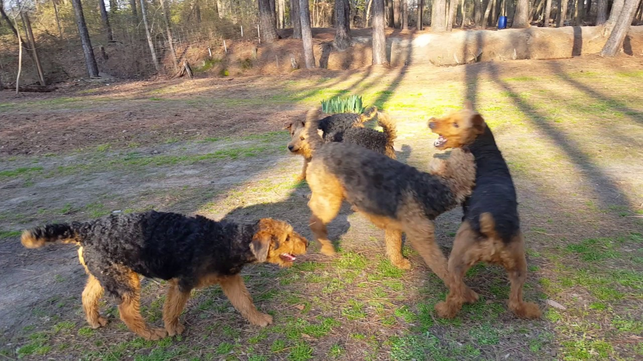 Airedale Terrier Puppies Sale Video