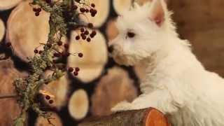 Litter Of Westie Pups October, 2014 @ Kellyskennels.co.uk