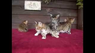 Котята курильского бобтейла 1 месяц