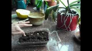 Growing Pomelo trees. 100% germination!