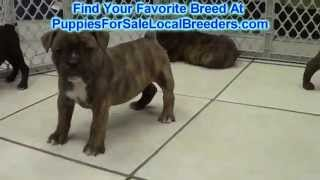 Olde English Bulldog  Puppies For Sale Local Breeders