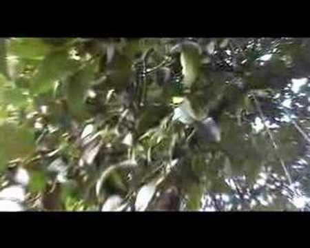 para que sirve el mangostan propiedades fruta mangostan - beneficios del mangostan o mangostana