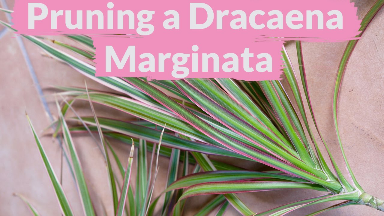 A Dracaena Marginata Needs Pruning: How To Do It - YouTube on cornstalk plant, mass cane plant, artificial palm trees plant, tall marginata plant, marginata plant poisonous, marginata cane plant, shrimp plant, cigarette plant, pruning marginata plant, alocasia plant, fica plant, dracaena plant, identify palm plant, eucalyptus plant, gawe aspidistra plant, florida beauty plant, d. marginata plant, cactus tree plant, century tree plant,