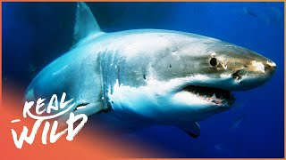 Sharks: The Kings Of The Ocean (Animal Documentary) | Sharks | Real Wild