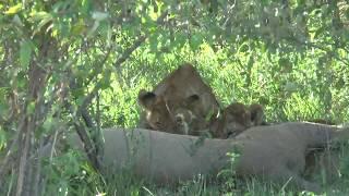 象は大人二人で囲んで、小象はおっぱいを飲みます。ライオンの子も 兄弟...