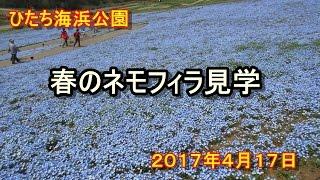 ネモフィラ花見 2017/4/17 ひたち海浜公園 ネモフィラの丘 検索動画 13