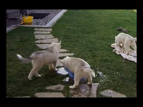 Хаски Женя, Альва и её щенки. Husky Lake.
