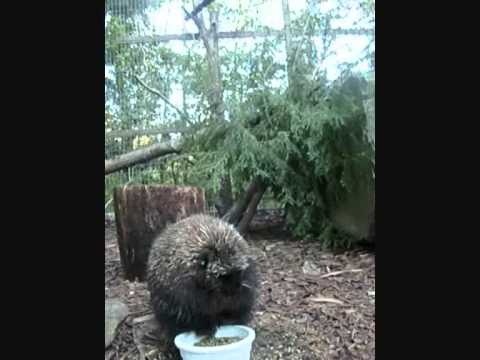 Download How a Porcupine has dinner on Youtube
