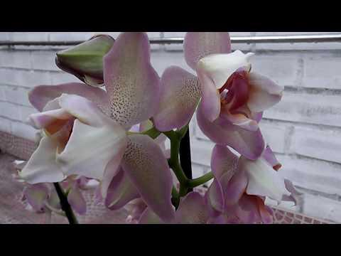 ПЕРЕСАДКА Орхидея Променея золотисто желтая Promenaea