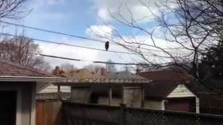 Clever little raccoon walking across some phone wires