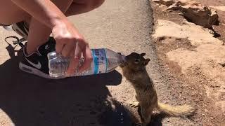 「お願い、お水ちょうだい!」喉の渇きに耐えられず、ペットボトルの水をおねだりするリス