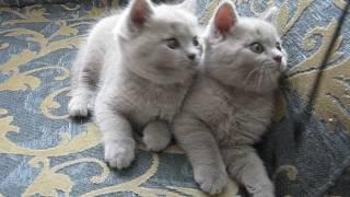 Котята британцы лиловые .