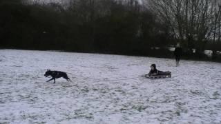 Staffordshire Bull Terrier Pulling Our Sledge