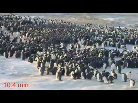 !!TIME-LAPSE VIDEO SHOW HOW PENGUINS HUDDLE UP TO KEEP WARM!!