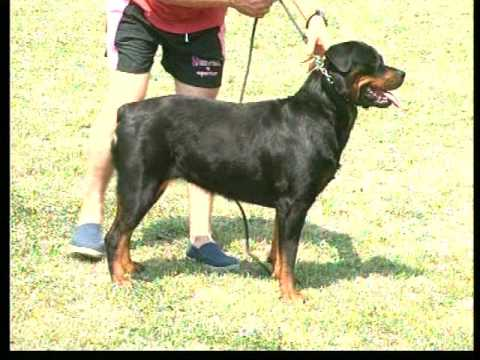 The Rottweiler - Pet Dog Documentary English