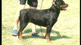 The Rottweiler  Pet Dog Documentary English