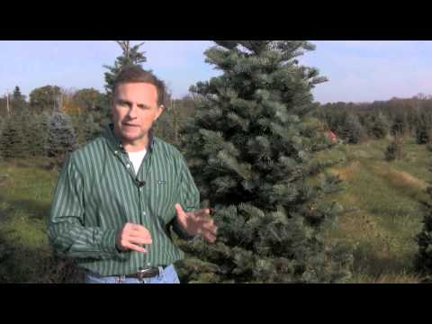 Christmas Tree Species: Concolor Fir
