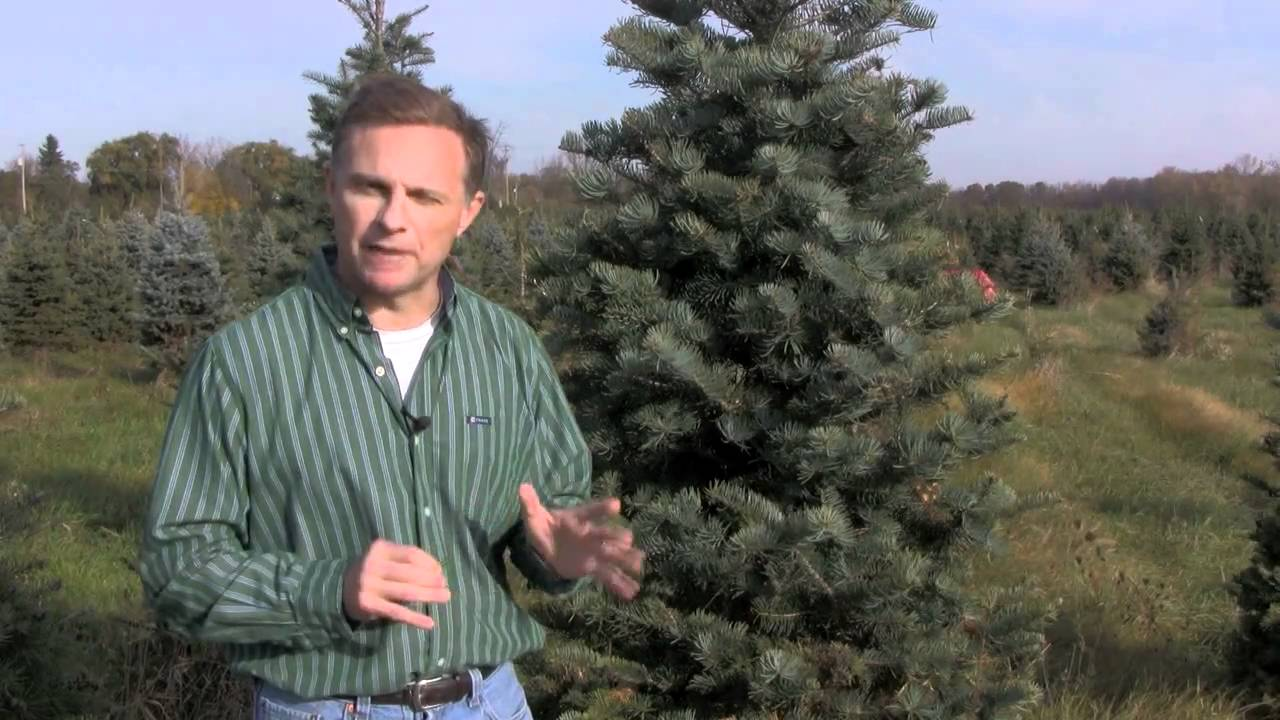 Christmas Tree Species: Concolor Fir - YouTube