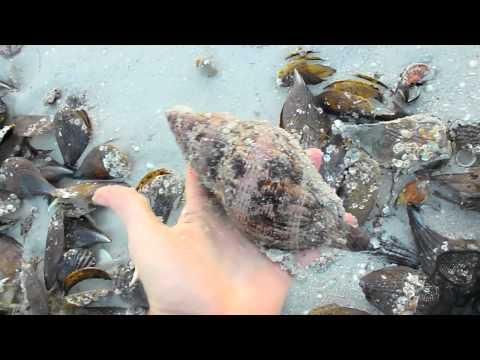 Collecting Tulip Shells at Sanibel Pier