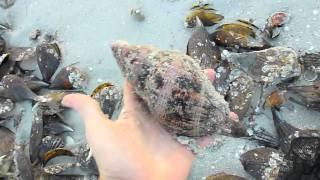 Collecting Tulip Shells at Sanibel Pier