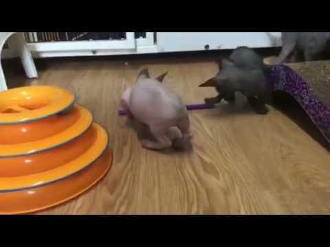 Adorable BamBob Kitten Playing