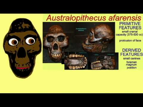 HOMINID FAMILY TREE 3  GRACILE AUSTRALOPITHECINES