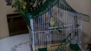 Уход за волнистым попугаем 3 часть