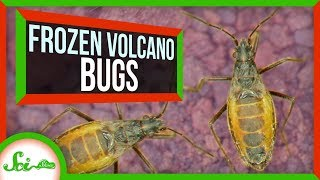 The Awesome Bug That Lives on Frozen Volcanos