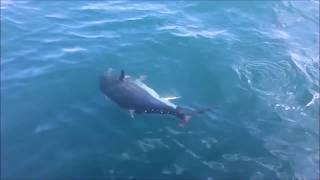 Такую рыбалку не забыть Огромные голубые тунцы в океане