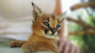 Adorable baby caracal