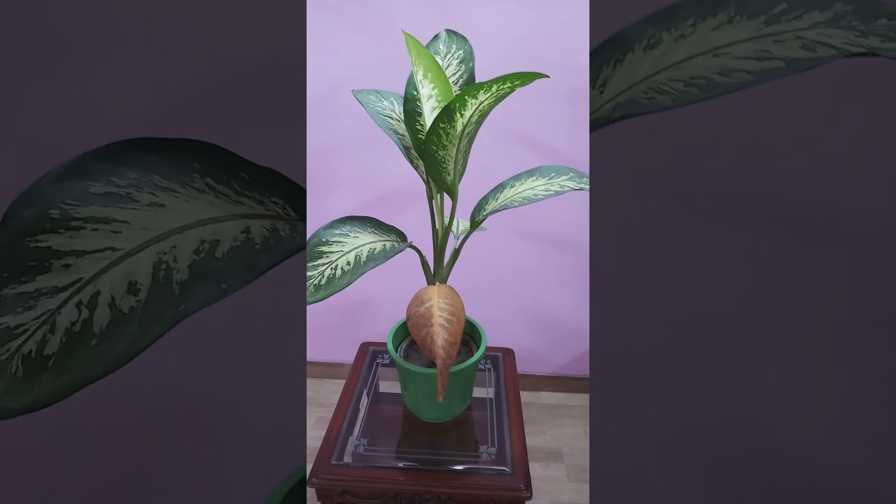 pretty dieffenbachia house plant. Purify Indoor Air with Beautiful Dieffenbachia Plant  YouTube