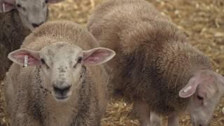L'élevage ovin