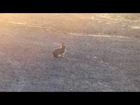 Rabbit distress call