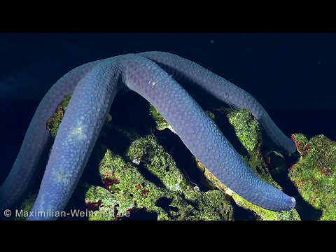 Enjoy The Slowness! Watch The Blue Starfish Moving Around The Reef. Relax!