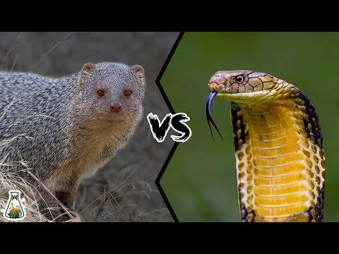 INDIAN GREY MONGOOSE VS KING COBRA  Can mongoose kill King Cobra?