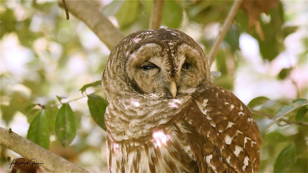This video shows an up-close view of a barred owl at the State ...