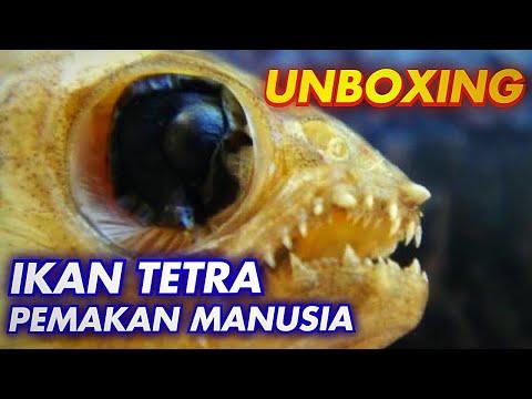 ikan-tetra-pemakan-daging,-aquarium-aquascape-di-gabung-ikan-predator?