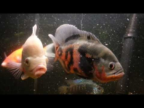 Oscar Fish Mating Behavior