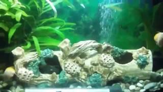 Видео аквариума от подписчика  #13 Становлюсь на путь исправления №2(Напоминаю, что каждый желающий может прислать видео своего аквариума и я его опубликую на канале! Аквариумы..., 2017-02-05T19:03:16.000Z)