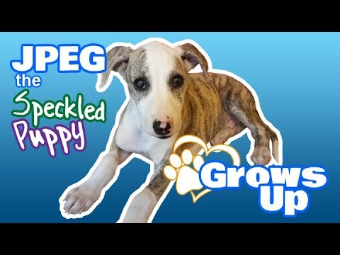 JPEG the Speckled Puppy Grows Up - Cute, Adorable Whippet (Sighthound, Greyhound)