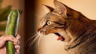 「かわいい猫」 笑わないようにしようとしてください - 最も面白い猫の...