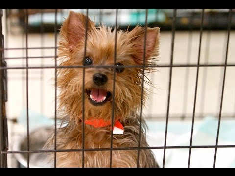 HSSM holds adoption for rescued Yorkshire terriers