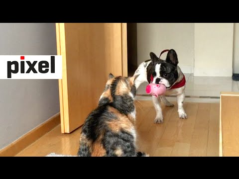 French Bulldog Desperately Tries to Play with Unamused Cat (short version)