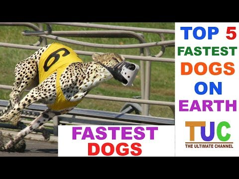 TOP 5 FASTEST DOGS ON EARTH IN HINDI - DOGS IN HINDI - THE ULTIMATE CHANNEL
