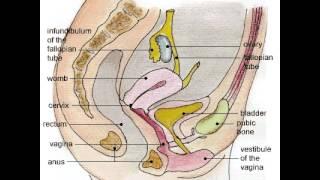 Женские половые органы(Видео из сериала