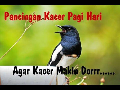 Suara Pancingan Kacer Pagi Hari - Video Burung Asli