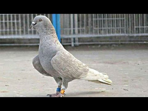 Roller Pigeon Part 12🔥🔥|| Amazing Video Of Roller Pigeons || Tumbler Pigeons || NEEL BIRDS